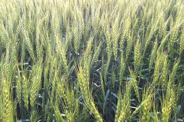 北海道産の麦