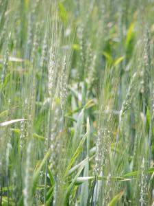 千歳の遠藤さんの畑